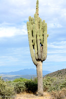 Multi-armed Saguaro