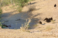 The dead foal on the left was why the vultures were there.